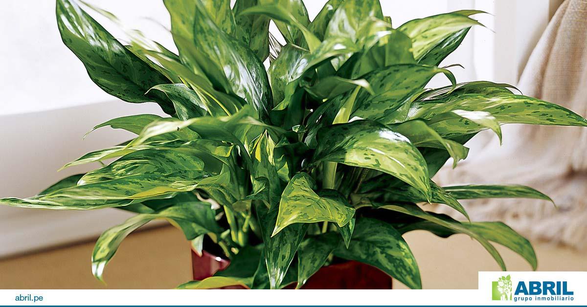 mejores plantas primer departamento aglaonema