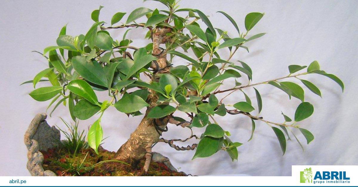 mejores plantas-primer departamento ficus retusa