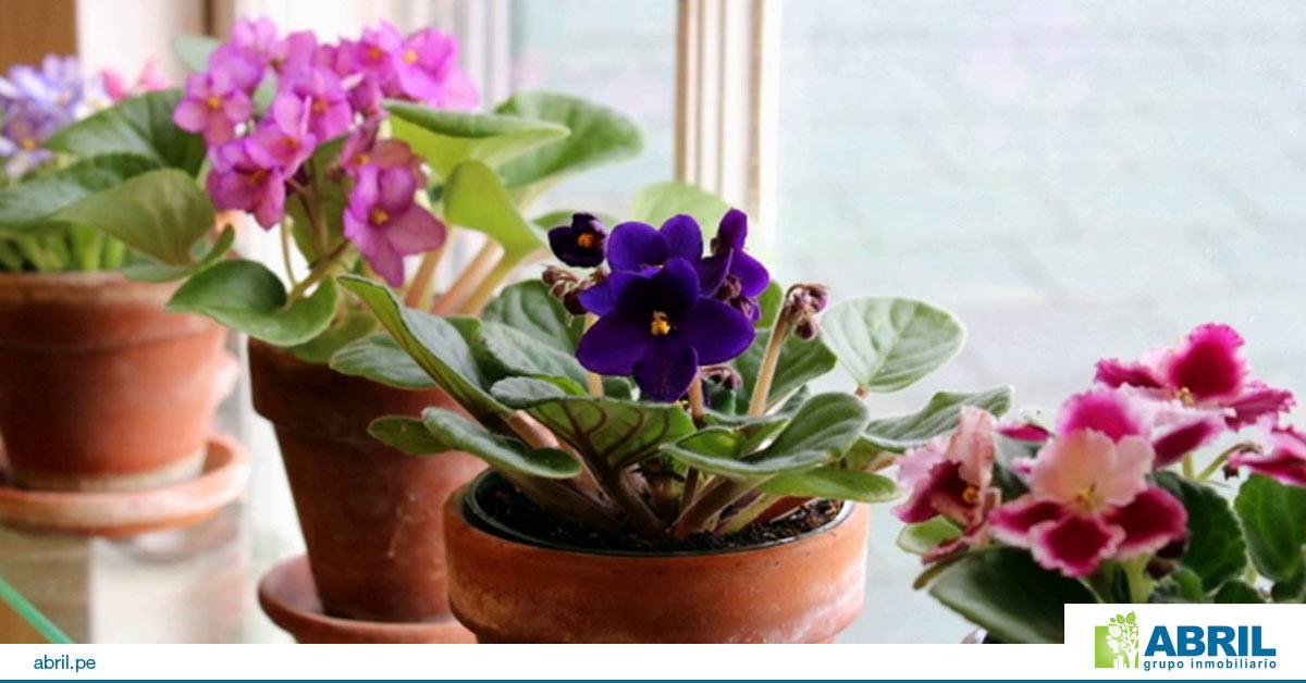 mejores plantas primer departamento violetas africanas